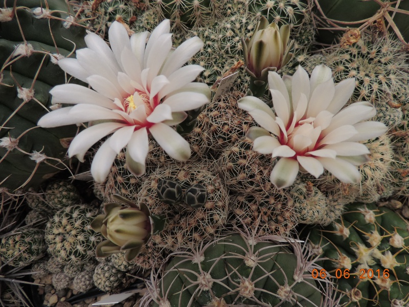 Cacti and Sukkulent in Köln, every day new flowers in the greenhouse Part 146 Bild_334