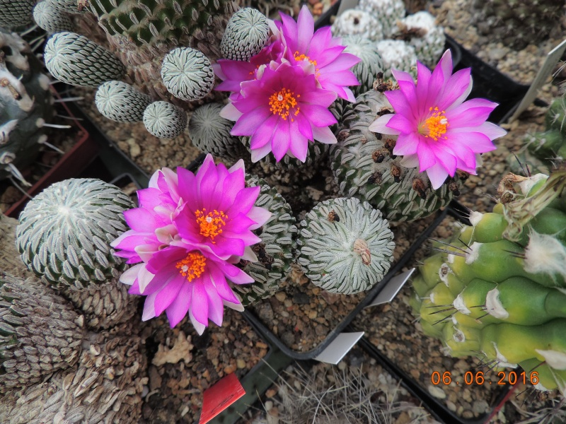 Cacti and Sukkulent in Köln, every day new flowers in the greenhouse Part 146 Bild_337