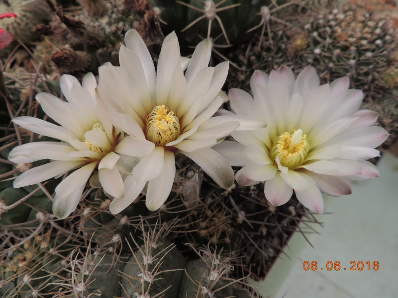 Cacti and Sukkulent in Köln, every day new flowers in the greenhouse Part 146 Bild_341