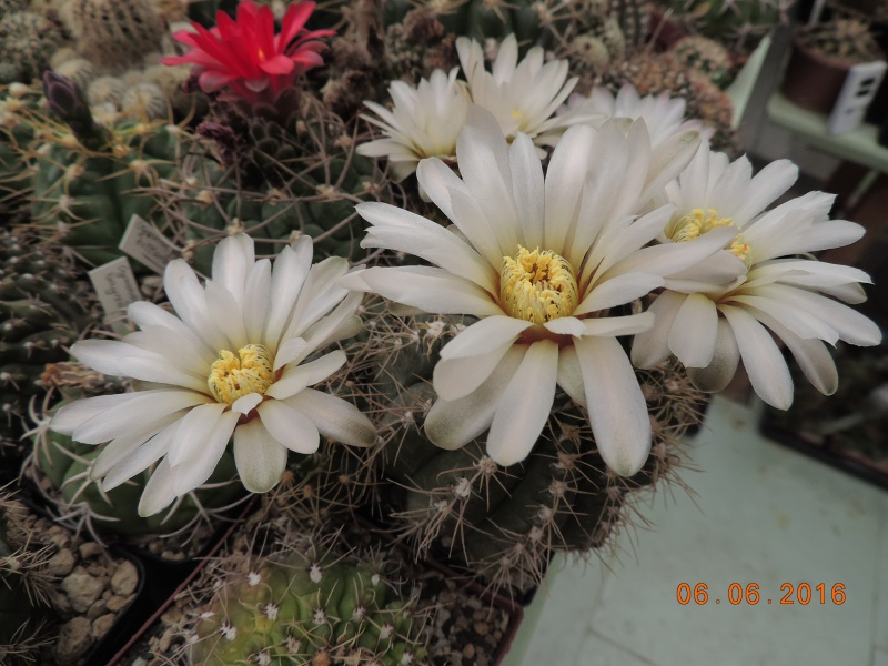 Cacti and Sukkulent in Köln, every day new flowers in the greenhouse Part 146 Bild_342