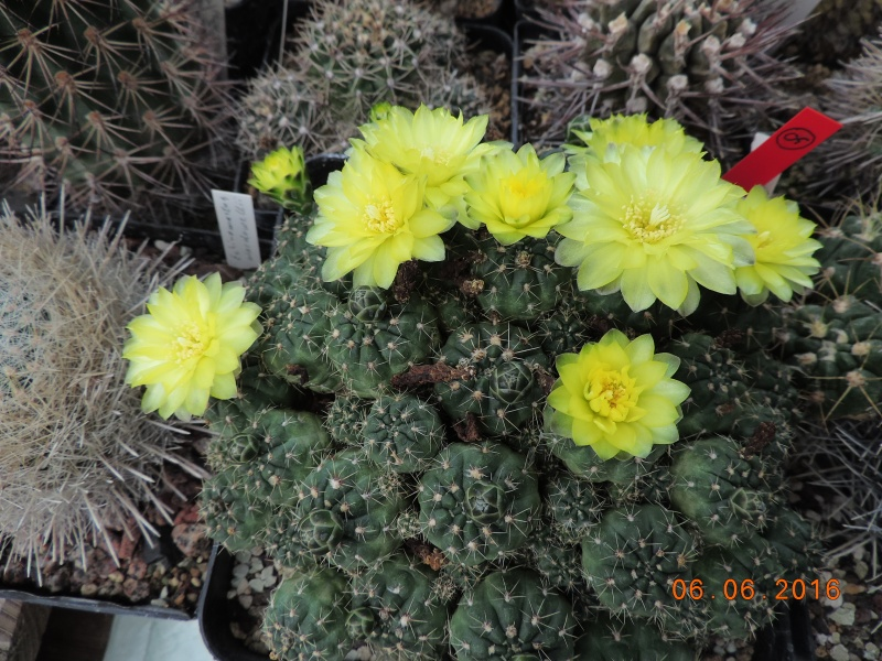 Cacti and Sukkulent in Köln, every day new flowers in the greenhouse Part 146 Bild_343