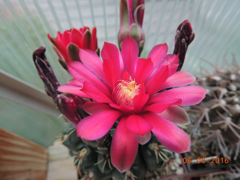 Cacti and Sukkulent in Köln, every day new flowers in the greenhouse Part 146 Bild_344