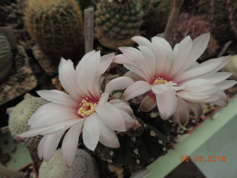 Cacti and Sukkulent in Köln, every day new flowers in the greenhouse Part 146 Bild_346