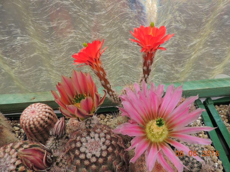 Cacti and Sukkulent in Köln, every day new flowers in the greenhouse Part 146 Bild_355