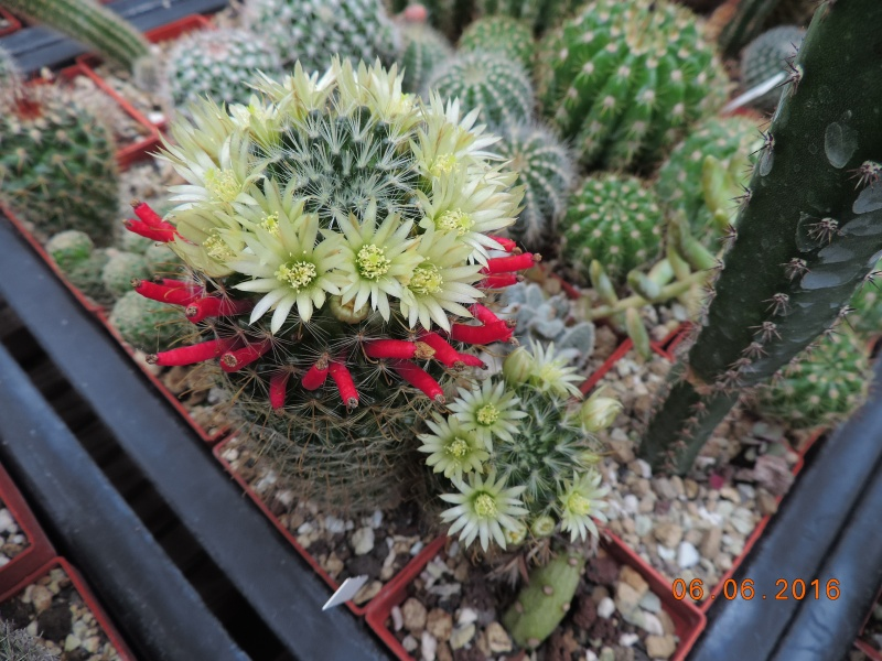 Cacti and Sukkulent in Köln, every day new flowers in the greenhouse Part 146 Bild_370
