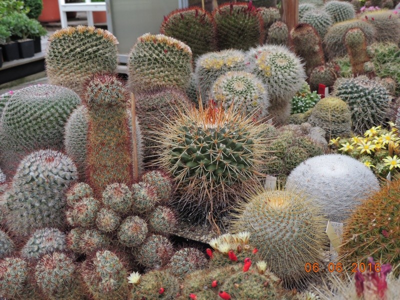 Cacti and Sukkulent in Köln, every day new flowers in the greenhouse Part 146 Bild_378