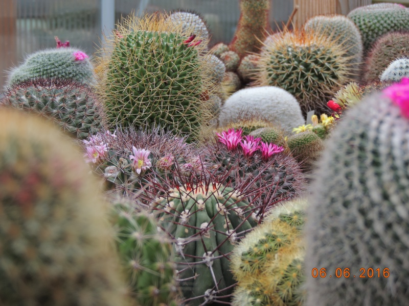 Cacti and Sukkulent in Köln, every day new flowers in the greenhouse Part 146 Bild_381