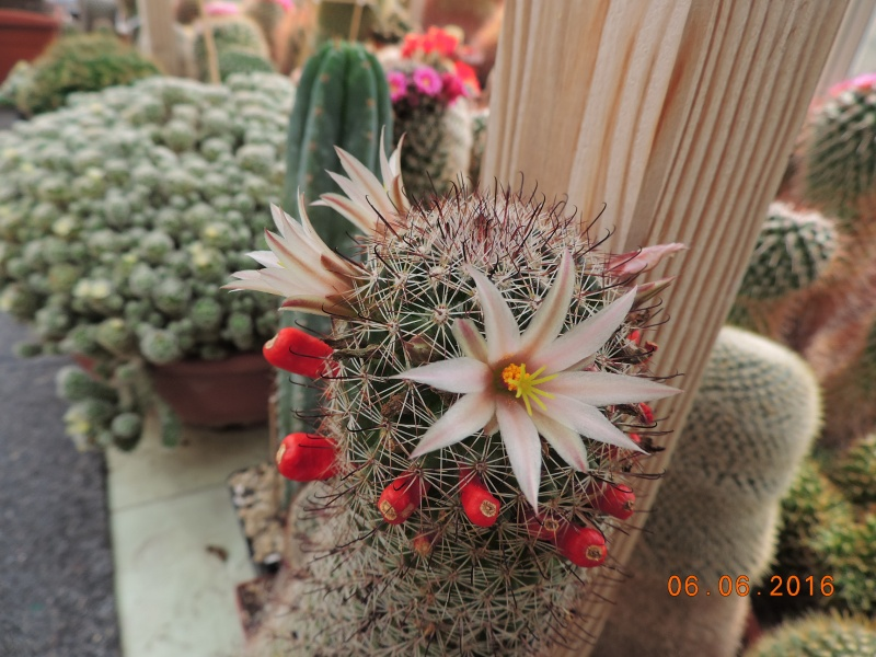 Cacti and Sukkulent in Köln, every day new flowers in the greenhouse Part 146 Bild_391