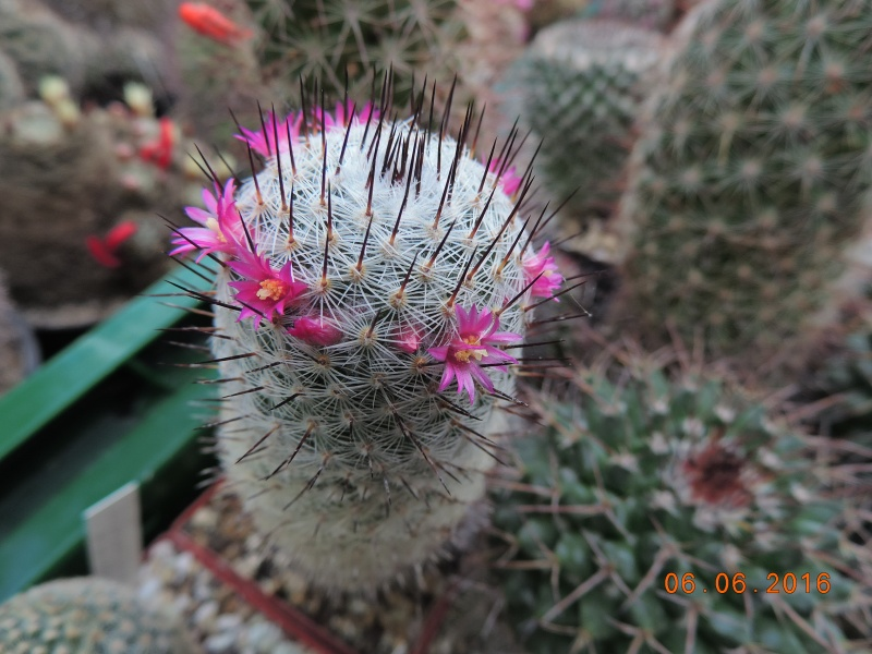 Cacti and Sukkulent in Köln, every day new flowers in the greenhouse Part 147 Bild_399