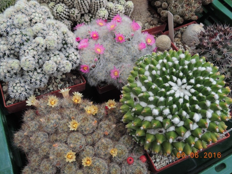 Cacti and Sukkulent in Köln, every day new flowers in the greenhouse Part 147 Bild_402