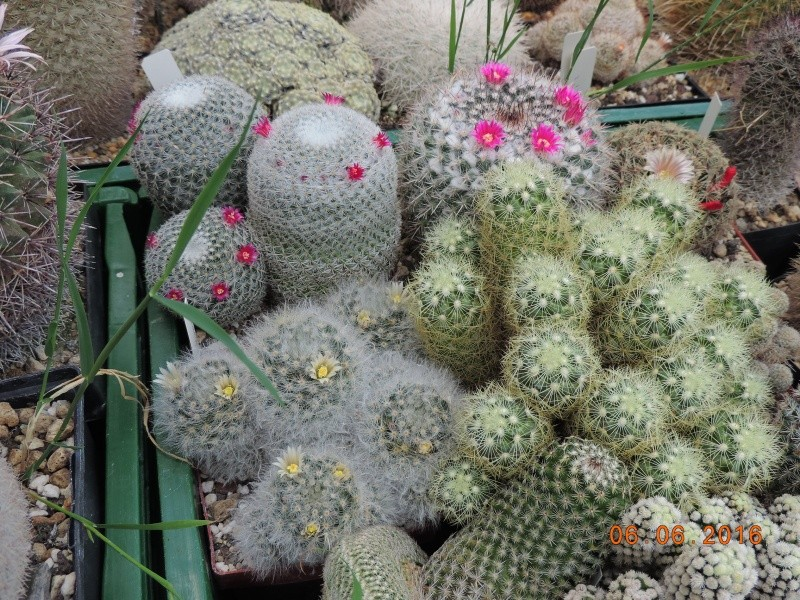 Cacti and Sukkulent in Köln, every day new flowers in the greenhouse Part 147 Bild_403