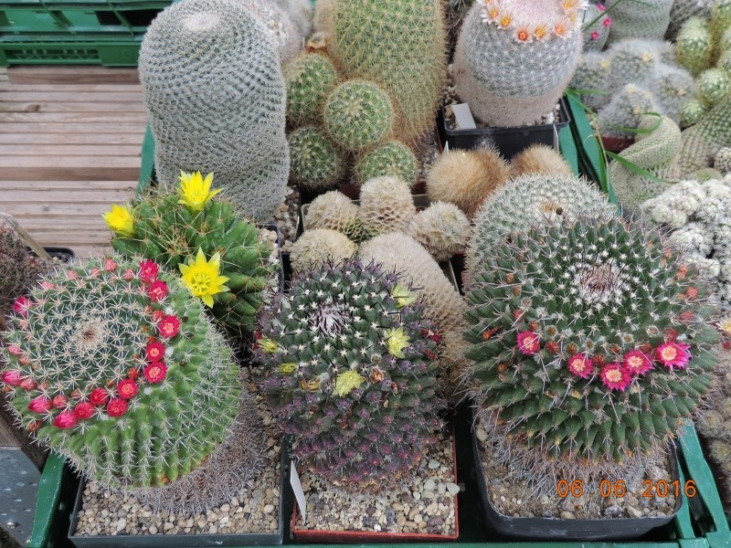 Cacti and Sukkulent in Köln, every day new flowers in the greenhouse Part 147 Bild_404