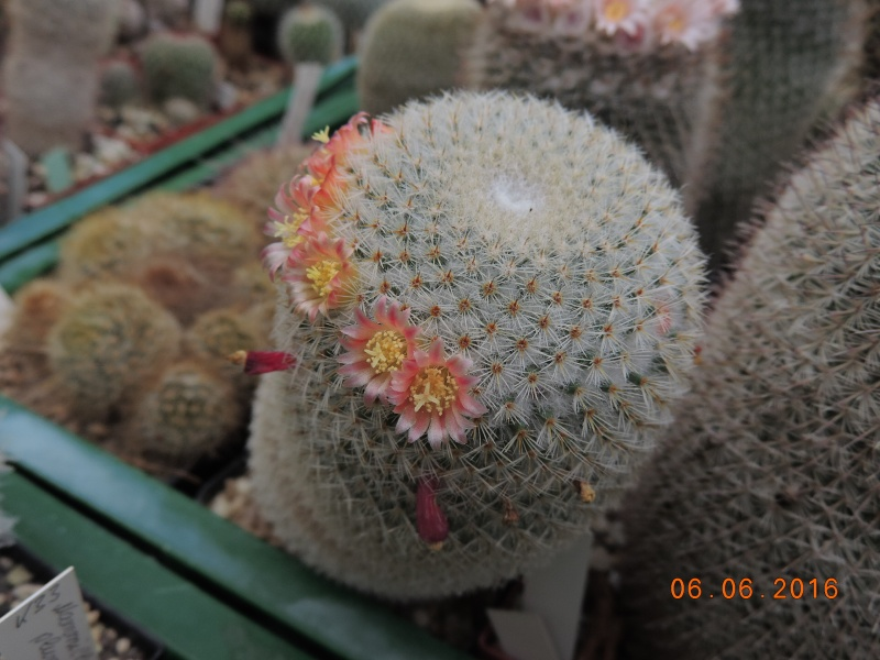 Cacti and Sukkulent in Köln, every day new flowers in the greenhouse Part 147 Bild_410