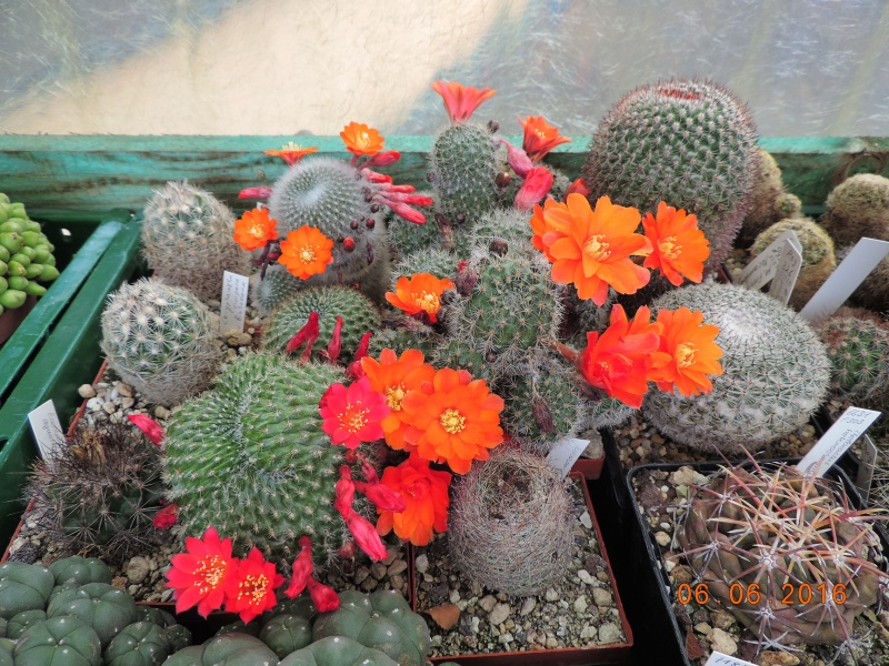 Cacti and Sukkulent in Köln, every day new flowers in the greenhouse Part 147 Bild_412