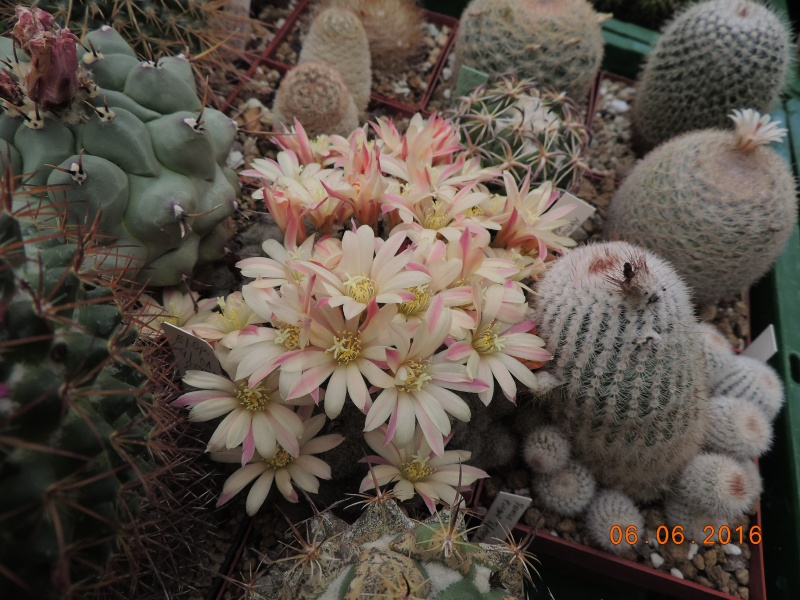 Cacti and Sukkulent in Köln, every day new flowers in the greenhouse Part 147 Bild_413