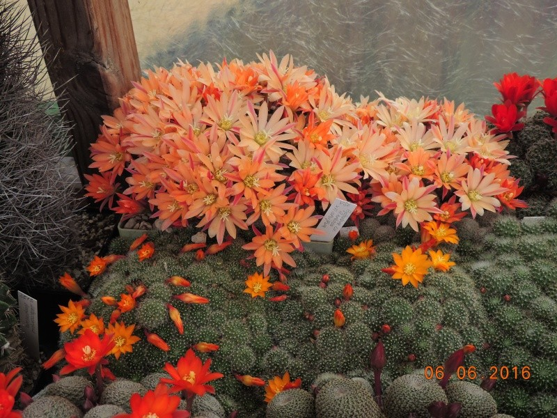 Cacti and Sukkulent in Köln, every day new flowers in the greenhouse Part 147 Bild_414