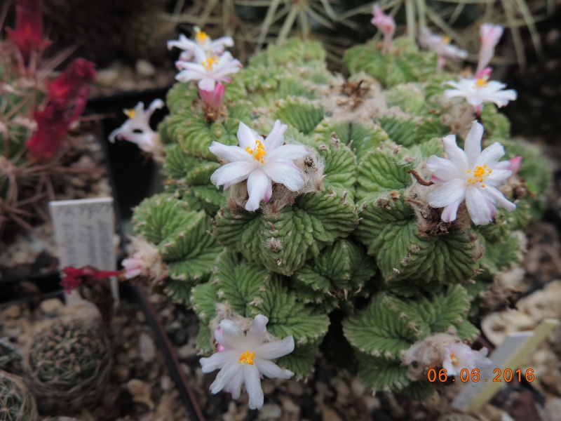 Cacti and Sukkulent in Köln, every day new flowers in the greenhouse Part 147 Bild_415