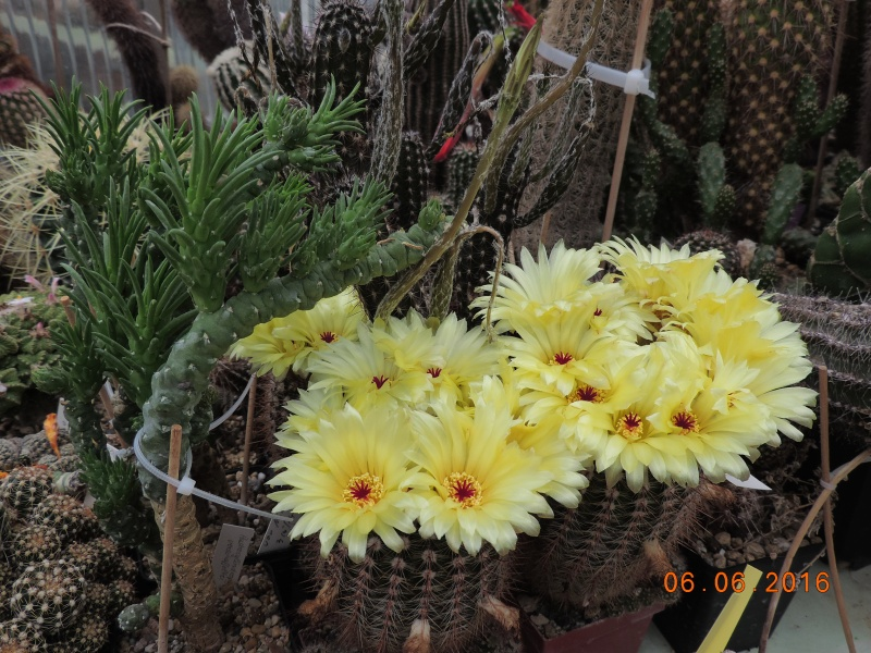 Cacti and Sukkulent in Köln, every day new flowers in the greenhouse Part 147 Bild_417