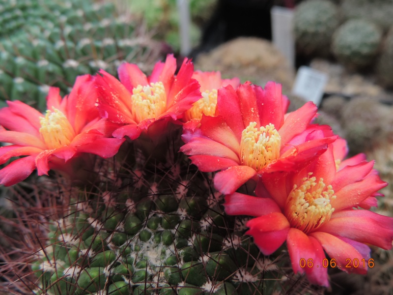 Cacti and Sukkulent in Köln, every day new flowers in the greenhouse Part 147 Bild_420