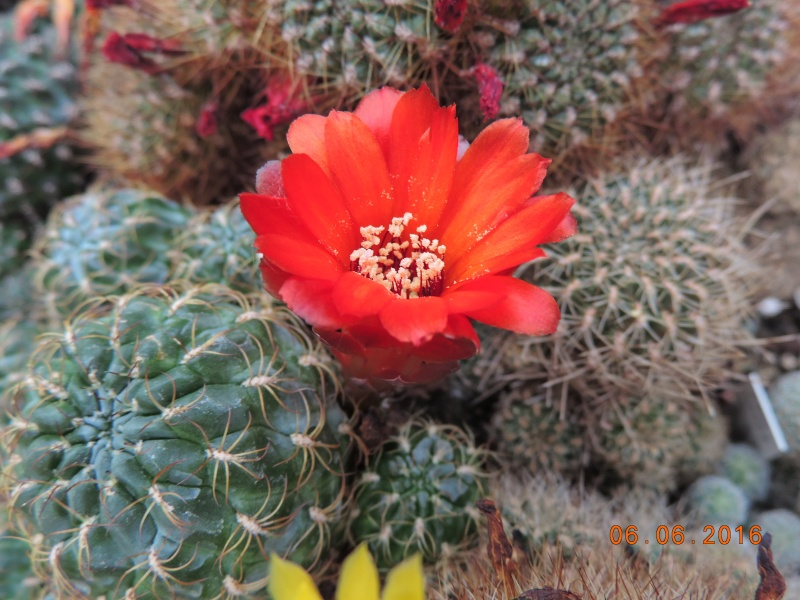 Cacti and Sukkulent in Köln, every day new flowers in the greenhouse Part 147 Bild_421