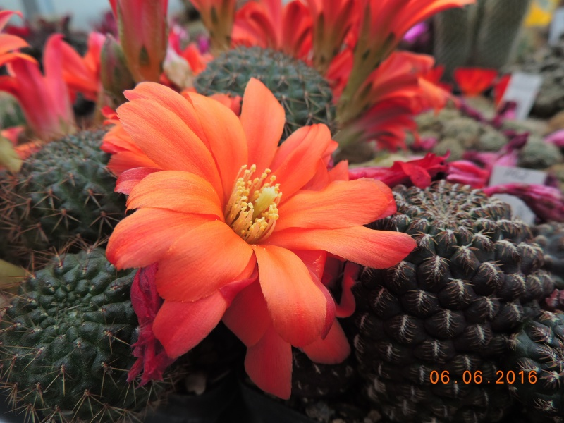 Cacti and Sukkulent in Köln, every day new flowers in the greenhouse Part 147 Bild_423