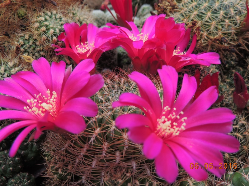 Cacti and Sukkulent in Köln, every day new flowers in the greenhouse Part 147 Bild_424