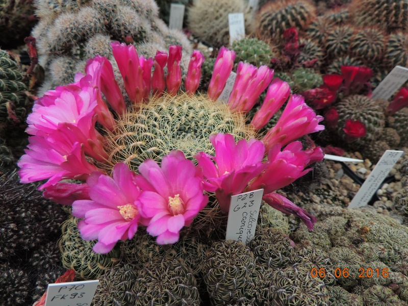 Cacti and Sukkulent in Köln, every day new flowers in the greenhouse Part 147 Bild_425