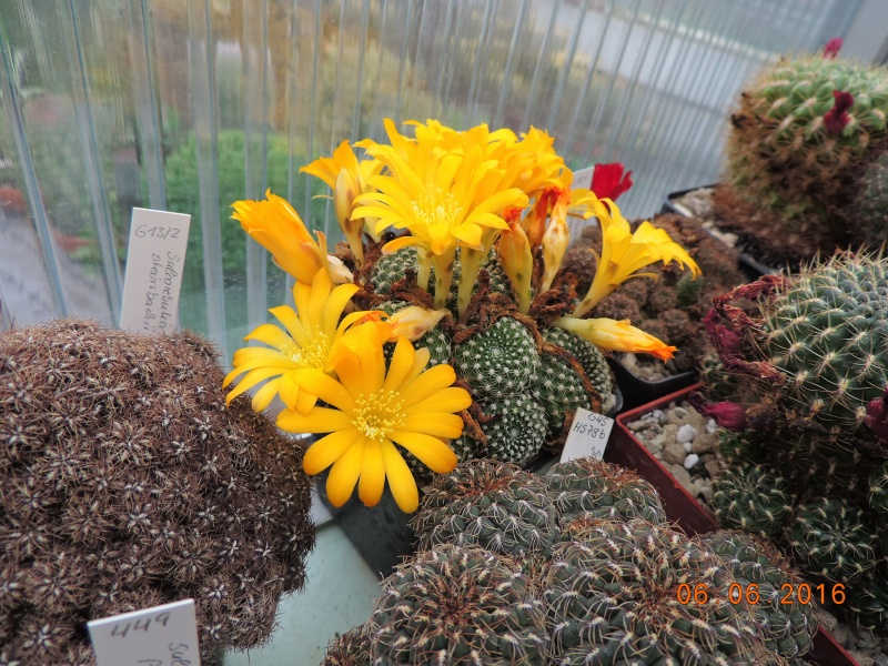Cacti and Sukkulent in Köln, every day new flowers in the greenhouse Part 147 Bild_426