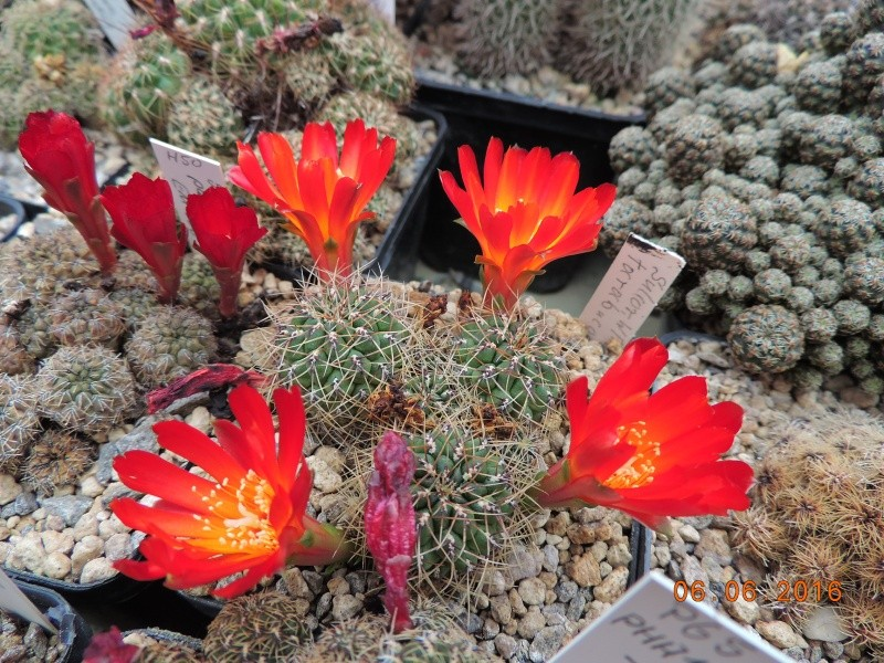 Cacti and Sukkulent in Köln, every day new flowers in the greenhouse Part 147 Bild_427