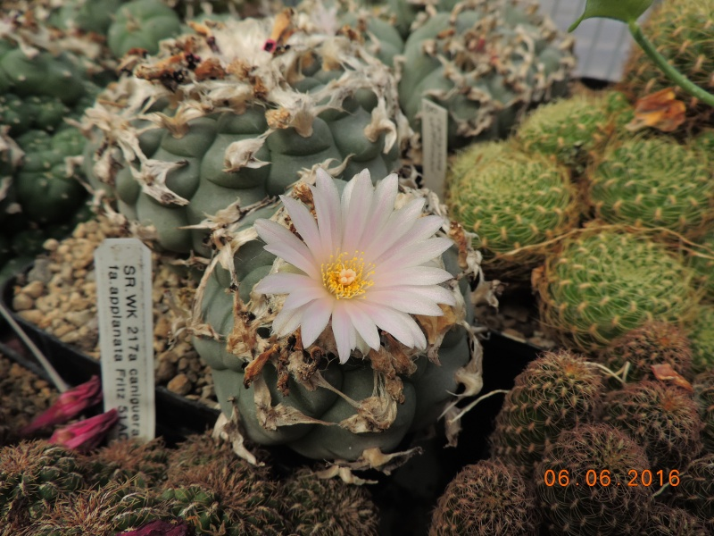 Cacti and Sukkulent in Köln, every day new flowers in the greenhouse Part 147 Bild_430