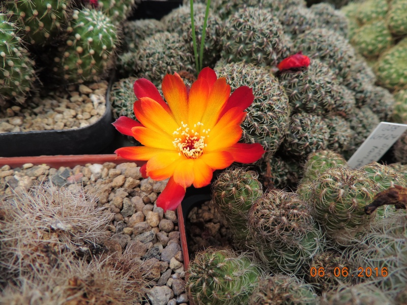 Cacti and Sukkulent in Köln, every day new flowers in the greenhouse Part 147 Bild_431