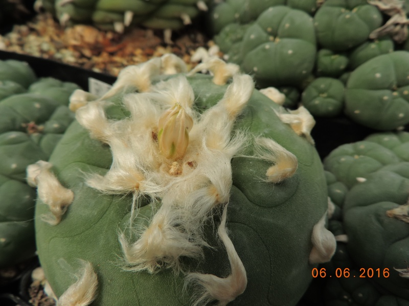 Cacti and Sukkulent in Köln, every day new flowers in the greenhouse Part 147 Bild_432