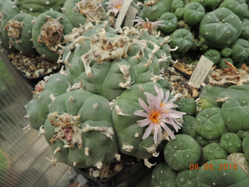 Cacti and Sukkulent in Köln, every day new flowers in the greenhouse Part 147 Bild_435