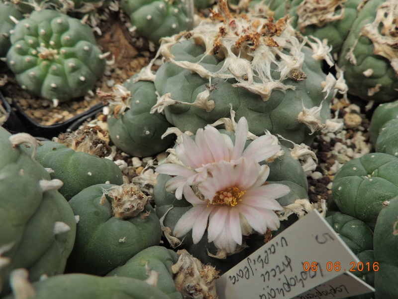 Cacti and Sukkulent in Köln, every day new flowers in the greenhouse Part 147 Bild_436