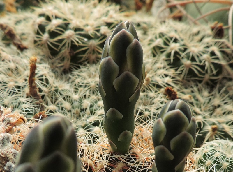 Cacti and Sukkulent in Köln, every day new flowers in the greenhouse Part 147 Bild_442