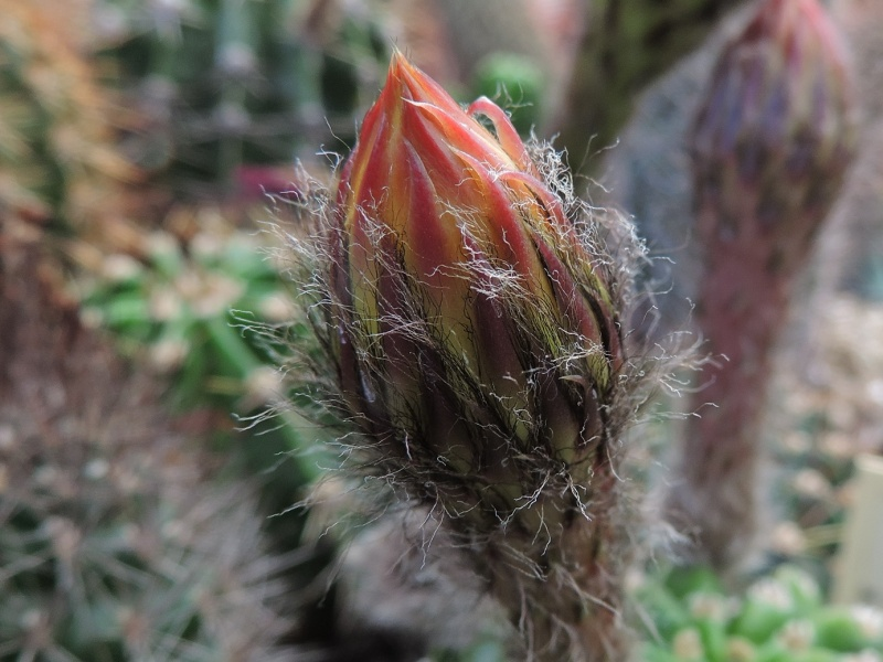Cacti and Sukkulent in Köln, every day new flowers in the greenhouse Part 147 Bild_447
