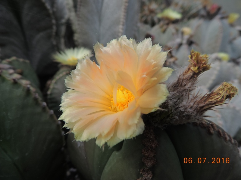 Cacti and Sukkulent in Köln, every day new flowers in the greenhouse Part 147 Bild_449
