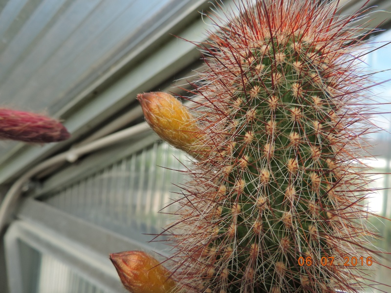 Cacti and Sukkulent in Köln, every day new flowers in the greenhouse Part 147 Bild_451