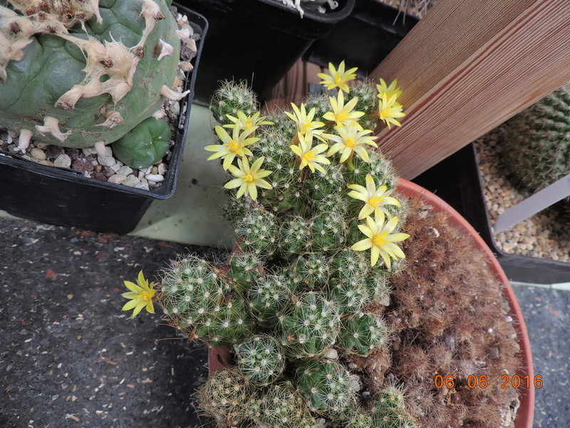 Cacti and Sukkulent in Köln, every day new flowers in the greenhouse Part 147 Bild_452