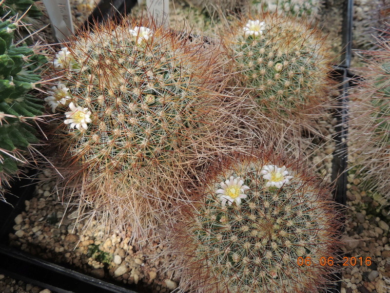 Cacti and Sukkulent in Köln, every day new flowers in the greenhouse Part 147 Bild_455