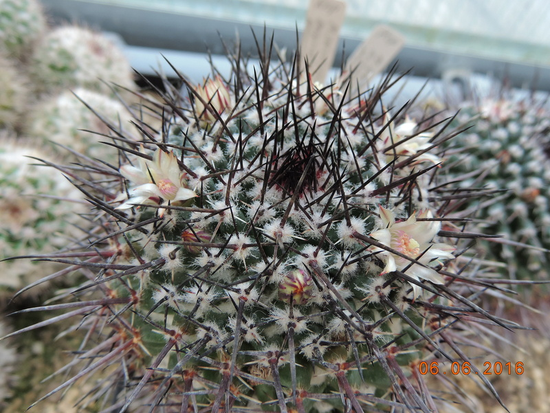 Cacti and Sukkulent in Köln, every day new flowers in the greenhouse Part 147 Bild_456
