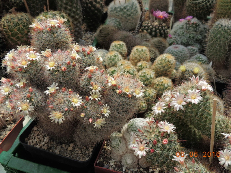 Cacti and Sukkulent in Köln, every day new flowers in the greenhouse Part 147 Bild_461