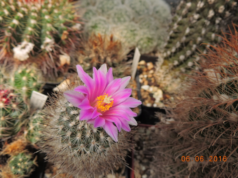 Cacti and Sukkulent in Köln, every day new flowers in the greenhouse Part 147 Bild_463