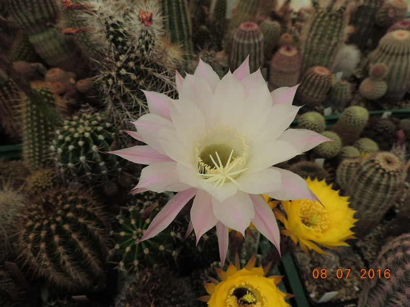 Cacti and Sukkulent in Köln, every day new flowers in the greenhouse Part 147 Bild_475