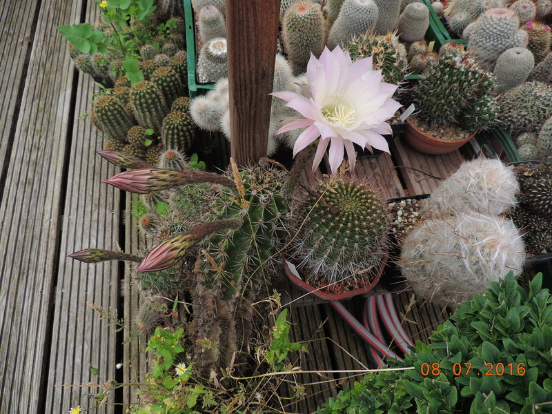 Cacti and Sukkulent in Köln, every day new flowers in the greenhouse Part 147 Bild_476