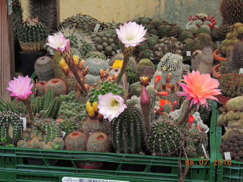 Cacti and Sukkulent in Köln, every day new flowers in the greenhouse Part 147 Bild_479