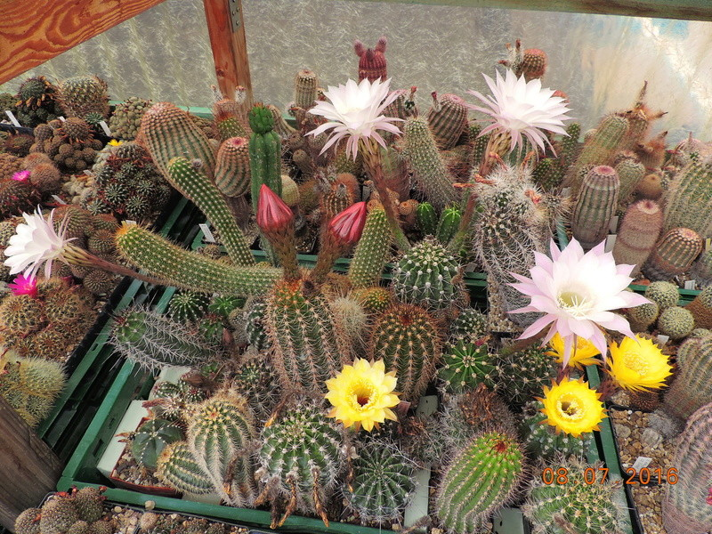 Cacti and Sukkulent in Köln, every day new flowers in the greenhouse Part 147 Bild_480