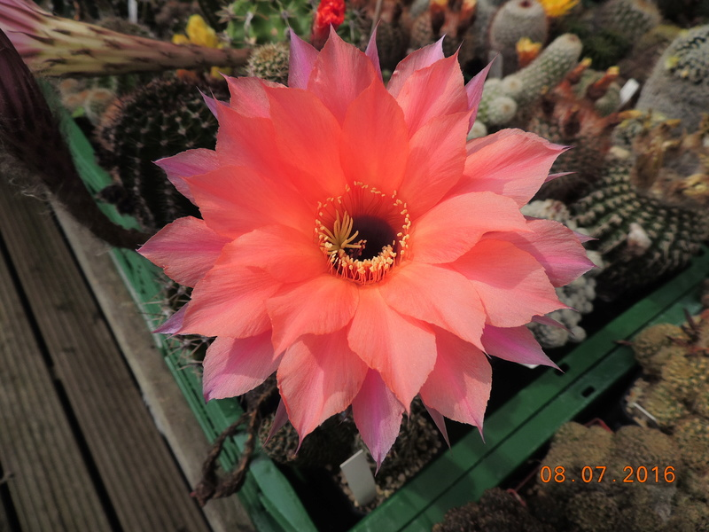Cacti and Sukkulent in Köln, every day new flowers in the greenhouse Part 147 Bild_481