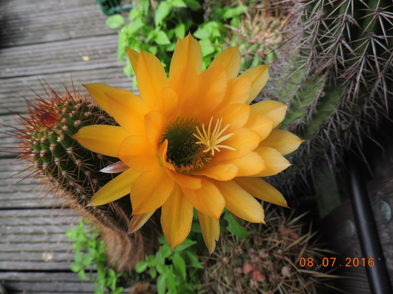Cacti and Sukkulent in Köln, every day new flowers in the greenhouse Part 147 Bild_484