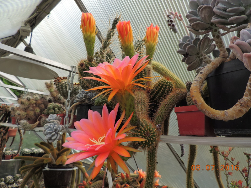 Cacti and Sukkulent in Köln, every day new flowers in the greenhouse Part 147 Bild_486